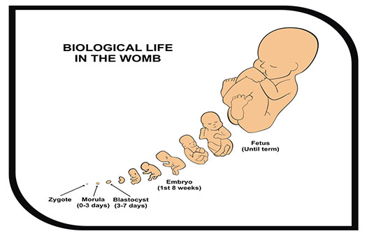 Life-in-womb-graphic